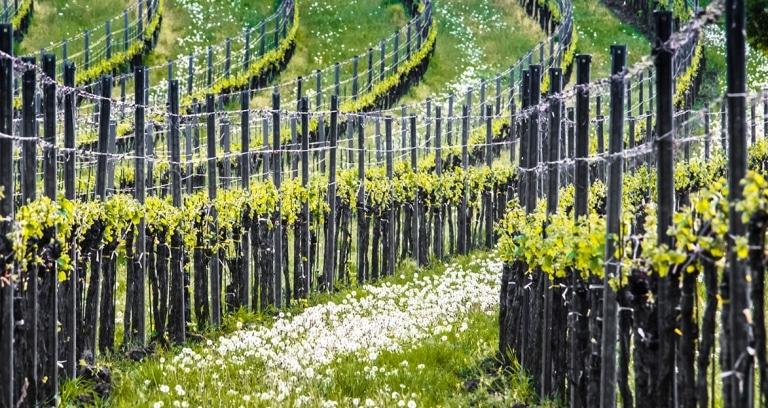 Weingarten im Südburgenland